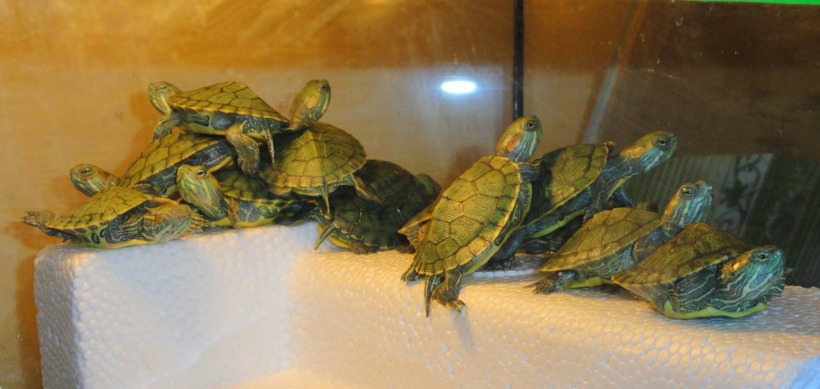 Вырастить черепаху в домашних условиях