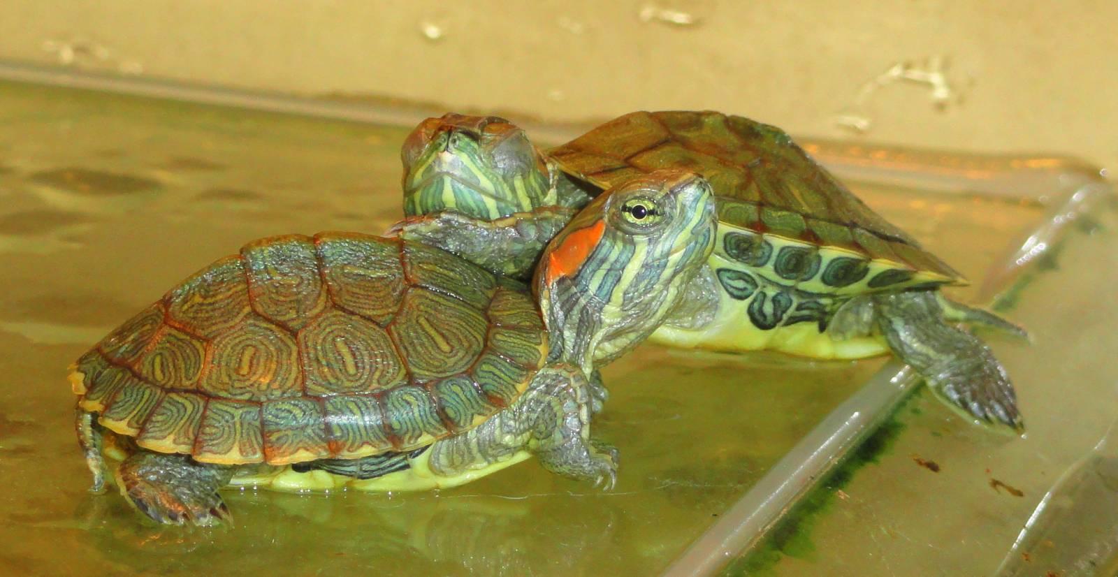 Содержание водной черепахи в домашних условиях 16