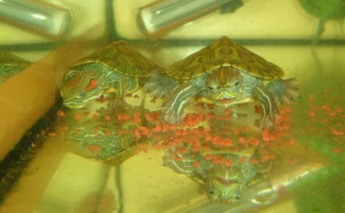 Красноухая черепаха размножение в домашних условиях