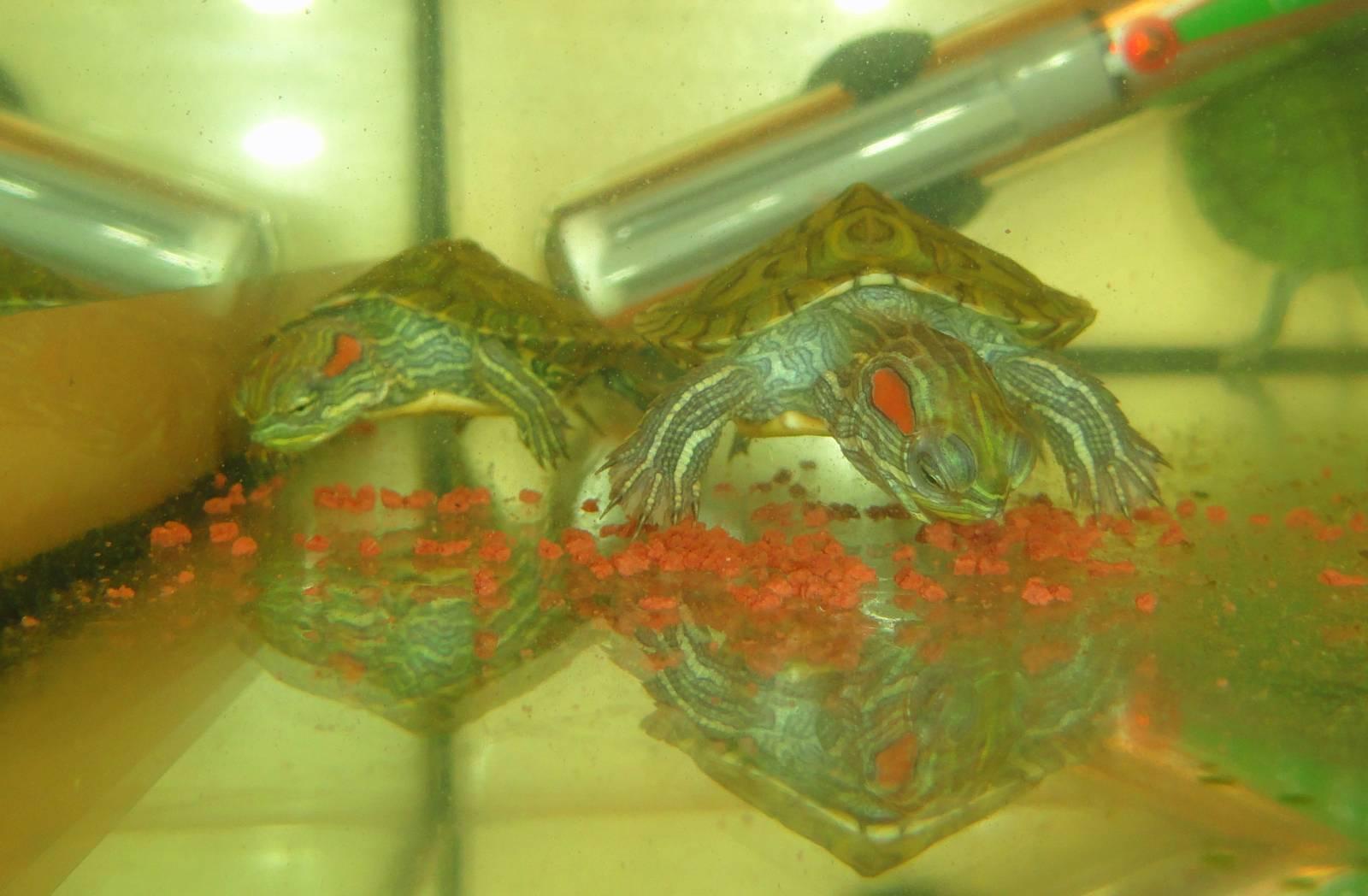 Содержание водной черепахи в домашних условиях 60
