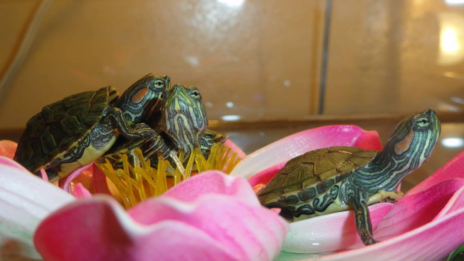 Содержание водной черепахи в домашних условиях 20