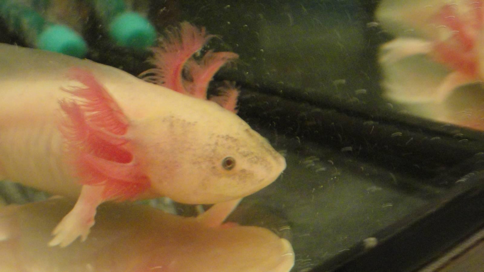 Аквариумная рыбка аксолотль фото