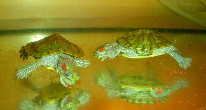 Чем кормить красноухую черепаху, в домашних условиях 71